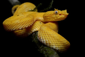 Horned Bush Viper Yellow
